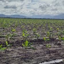 Des bananes biologiques venant d'Haïti